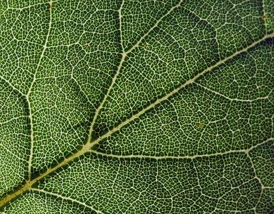 leaf_veins4